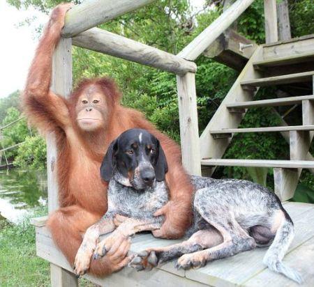 Orangutan And Dog Friends Suryia And Roscoe