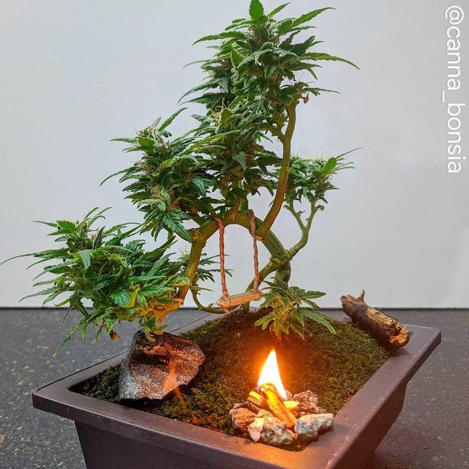 canna bonsia